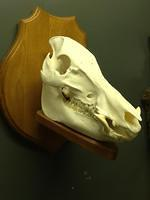 boar skull on plaque